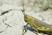 Locusta migratoria — Stock Photo