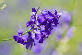Consolida regalis, Delphinium consolida — Stock Photo