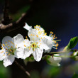 Fruit tree in blossom — Foto Stock