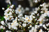 Fruit tree in blossom — Stock Photo