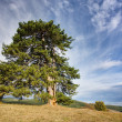 Tree in mountain — Stock Photo