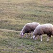 Two sheeps - Stock Photo