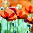 Beautiful poppy flower — Stock Photo #17697289
