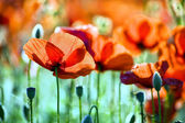 Beautiful poppy flower — Stock Photo