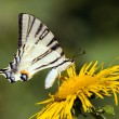 Beautiful swallowtail butterfly - Stockfoto
