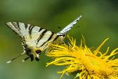 Beautiful swallowtail butterfly — Stock Photo
