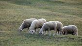 Four sheep — Stock Photo