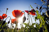 Beautiful poppy flowers — Stock Photo