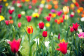 Beautiful spring tulip flowers in colorful garden — Stock Photo