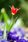Tulip  among the flowers of iris — Stock Photo