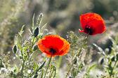 Poppies on green field — Stock Photo