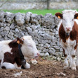 Stock Photo: Calves cow in rearing livestock