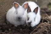 White rabbits on farm — Stock Photo