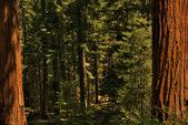 Redwood Trees 0119 — Stock Photo