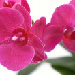 Stock Photo: Red Orchid closeup