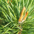 Branch of the pine tree — Stock Photo #25092511