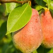 Stock Photo: Red Pears on a background of green foliage.