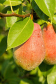 Red Pears on a background of green foliage. — Stock Photo
