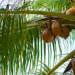 Coconuts on a palm tree — Stock Photo