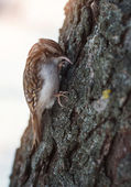 Small forest bird on a tree (Certhia familiaris) — Stock Photo