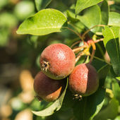 Pears on Tree Branch — Stock Photo