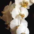 White Orchids 09 — Stock Photo #14828861