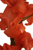 Red Gladioli on white closeup — Stock Photo