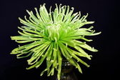 Spider chrysanthanum on Black — Stock Photo