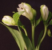 White Lily trio closeup 2 — Stock Photo
