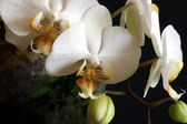 White Orchids 03 — Stock Photo