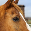 Brown Horse with blond hair — Stock Photo