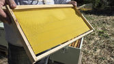 The beekeeper has control a new honeycomb — Stock Photo