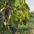 Bunch of red wine grape — Stock Photo
