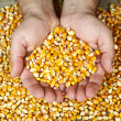 Man's hands holding grains of ripes dry corns — Stock Photo #35792983