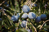 Bunch of ripe olives — Stock Photo