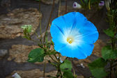 Blue bloom flower in nature — Stock Photo