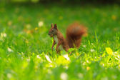 Red squirrel eats on green grass. — Stock Photo