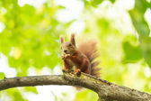 Red squirrel eats on tree. — Stock Photo