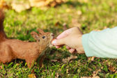 Red squirrel taking nut from human. — Stock Photo