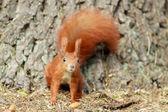 Ardilla roja. — Foto de Stock