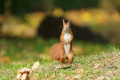 Standing Red squirrel. — Stock Photo