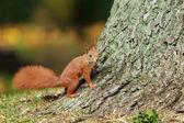 Ardilla roja en árbol. — Foto de Stock