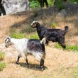 Goats in the wildness Turkish valley — Stock Photo
