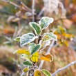 Stock Photo: Hoarfrost on leaves