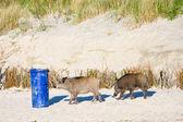 Mendicidad jabalíes en la playa, polonia — Foto de Stock