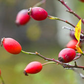 Rose hip Branch of a rose hip bush with ripe fruits — Stock Photo