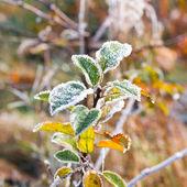 Hoarfrost on leaves — Stockfoto