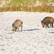 Begging boars on the beach, Poland - 