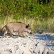 Begging boars on the beach, Poland - Stock Photo