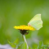 žlutý motýl na žluté květy — Stock fotografie